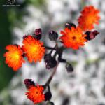 Květina na Radhošti